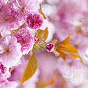 Pink Cherry Blossoms In Spring Orchard Poster by Elena Elisseeva