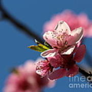 Pink Cherry Tree Blossom Poster