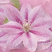 Pink Clematis Profusion Poster