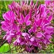 Pink Cleome Flower Poster