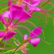 Pink Cleome Or Spider Flower  Poster by RM Vera