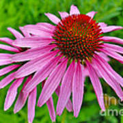 Pink Cone Flower Poster