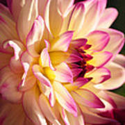 Pink Cream And Yellow Dahlia Poster