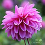 Pink Dahlia Closeup Poster