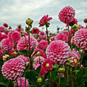 Pink Dahlia Field Poster