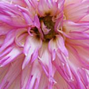Pink Dahlia Poster