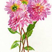 Pink Dahlias Poster by Sharon Freeman