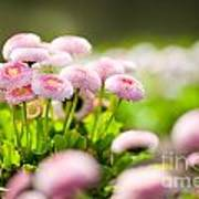Bellis Perennis Pomponette Called Daisy Blooming  Poster