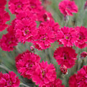 Pink Dianthus Flowers Poster