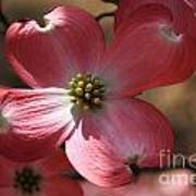 Pink Dogwood At Easter 4 Poster