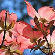 Transparent Glory Pink Dogwood Easter Flower Art Poster