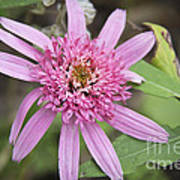 Pink Double Delight Echinacea Poster