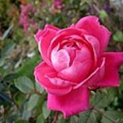 Pink Double Rose Poster