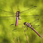 Pink Dragonflies Poster
