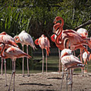Pink Falmingos At The San Diego Zoo Poster