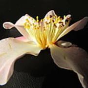 Pink Flower Azalea . Poster