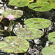 One Pink Water Lily With Lily Pads Poster