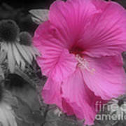 Pink Hibiscus In Partial Color Poster