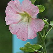Pink Hollyhock And Rain Poster