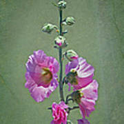 Pink Hollyhocks Poster