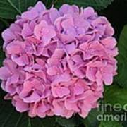 Pink Hydrangea All Profits Benefit Hospice Of The Calumet Area Poster