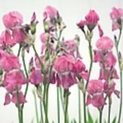 Pink Iris Poster