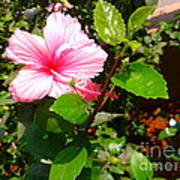 Pink Java Flower  Poster