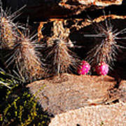 Pink Lady Cactus Poster