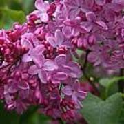 Pink Lilacs Poster