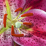 Pink Lily Up Close Poster