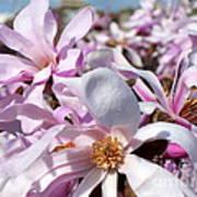 Pink Magnolia  Poster