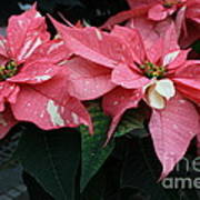 Pink Marble Poinsettia Poster