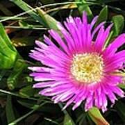 Pink Mesembryanthemum  Poster