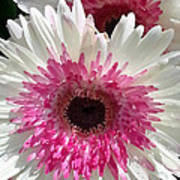 Pink N White Gerber Daisy Poster