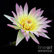 Pink N Yellow Water Lily Too Poster