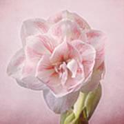 Pink Nymph Amaryllis Poster