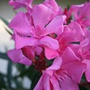 Pink Oleander Bunch Poster