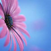 Pink Osteospermum Flower On Blue Poster