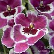 Pink Pansy Orchid Poster