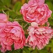 Pink Peonies Poster