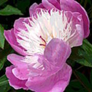 Pink Peony Flower Poster