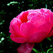 Pink Peony On The Side Poster