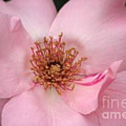 Pink Petals Poster