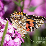 Pink Phlox With Butterfly Poster
