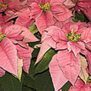 Pink Poinsettias Close-up Poster