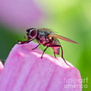 Pink Reflection On Flies Body. Poster