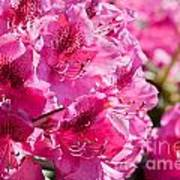 Rhododendron Called Azalea Bright Pink Flowers  Poster