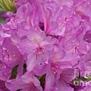 Pink Rhododendron Poster