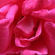 Pink Rose 01 Poster