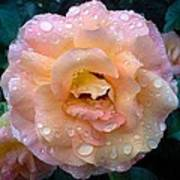 Pink Rose Bathed In Rain Poster